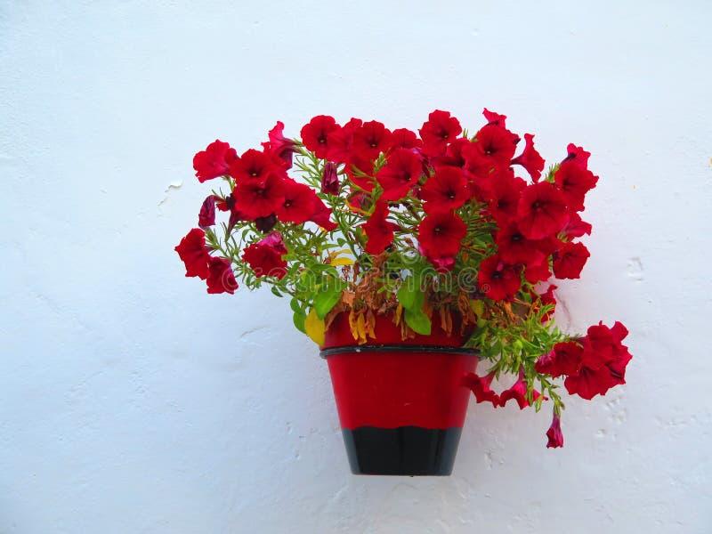 Flores vermelhas no potenciômetro na parede branca foto de stock