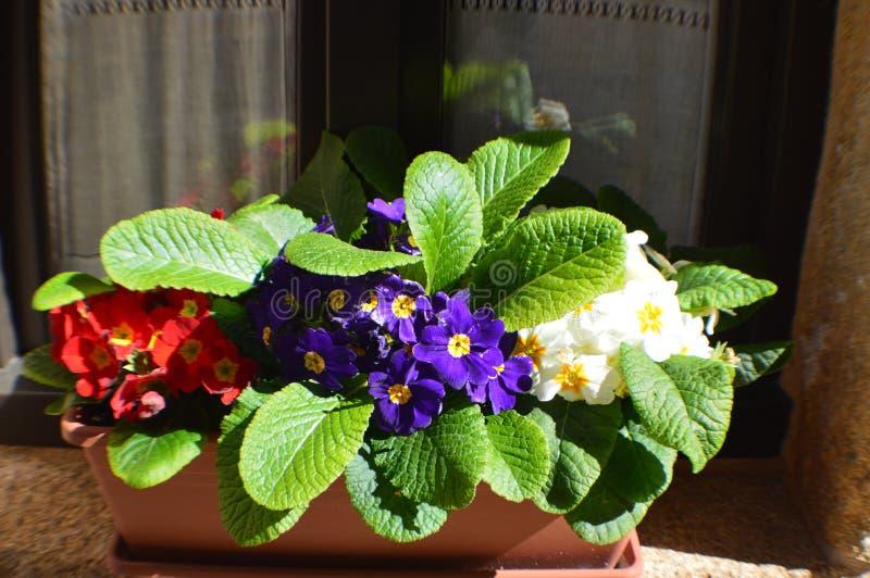 Flores vermelhas, roxas e brancas da prímula foto de stock