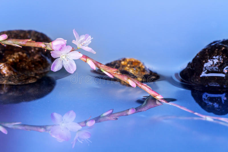 Flores vietnamianas cor-de-rosa do coentro imagens de stock