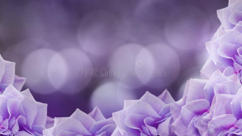flores Violeta-rosadas de las rosas en fondo púrpura borroso Fondo floral papel pintado coloreado para el diseño libre illustration