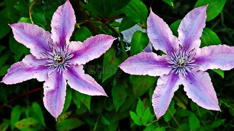 Flores violetas fotos de archivo libres de regalías