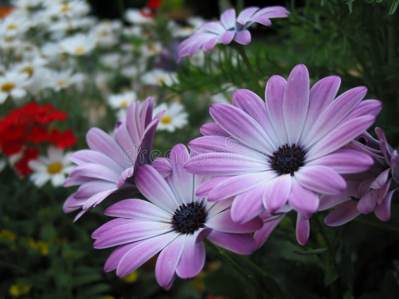 Download Flores violetas imagen de archivo. Imagen de pacífico, resorte - 180387