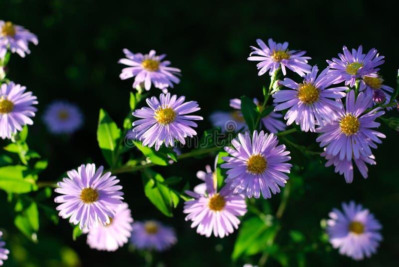 Flores violetas foto de archivo libre de regalías