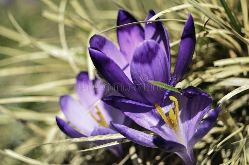 Flores violetas fotos de archivo