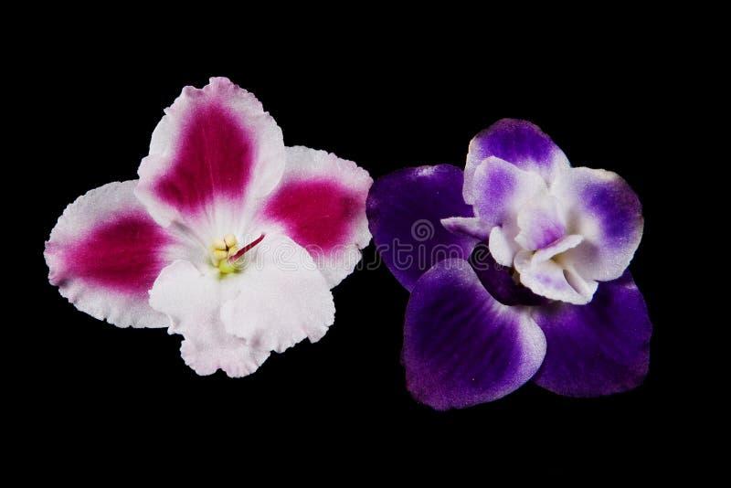 Download Flores violetas imagen de archivo. Imagen de travieso - 7150625