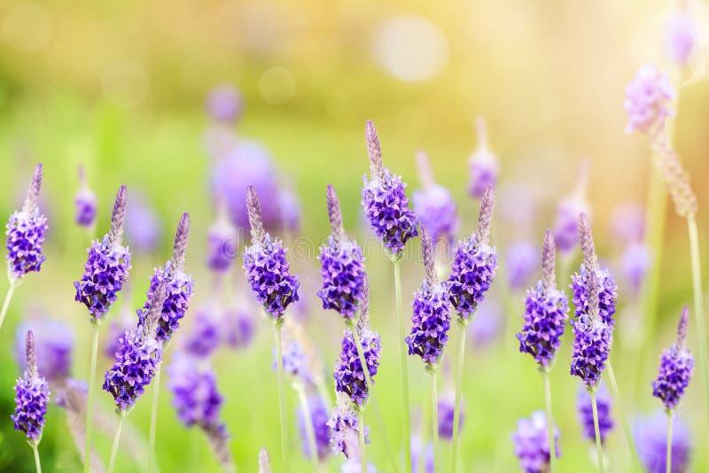 Flores violetas bonitas da alfazema no jardim fotos de stock royalty free