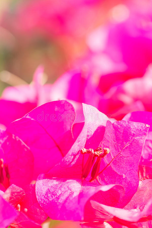 Flores violetas bonitas da buganvília com fundo do borrão fotografia de stock royalty free