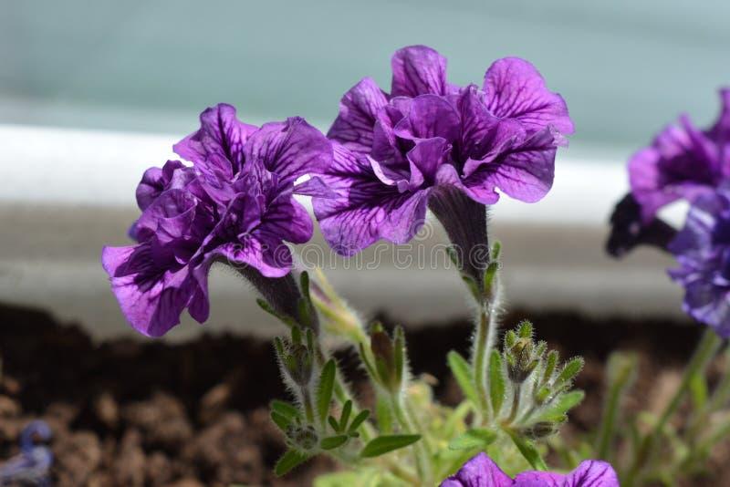 Flores violetas bonitas do petúnia de terry no potenciômetro Balcão greening foto de stock
