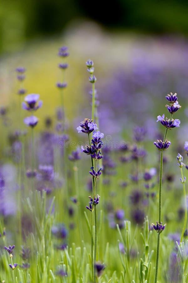 Flores violetas da alfazema no jardim foto de stock royalty free