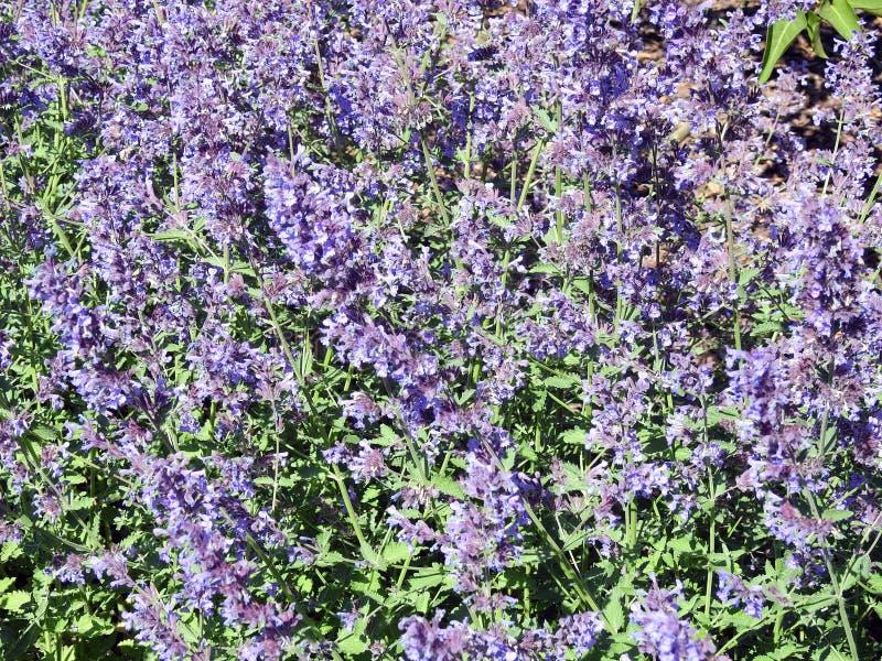 Flores violetas da alfazema no jardim, Lituânia imagem de stock