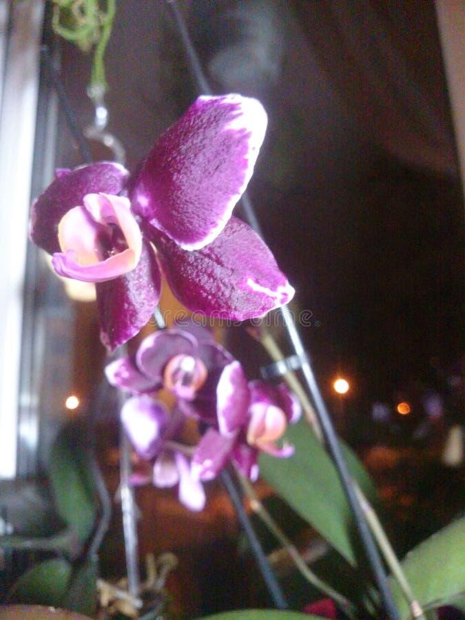 Flores violetas da orquídea imagem de stock