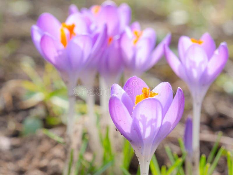 Flores violetas de florescência da mola do açafrão no prado alpino imagens de stock royalty free