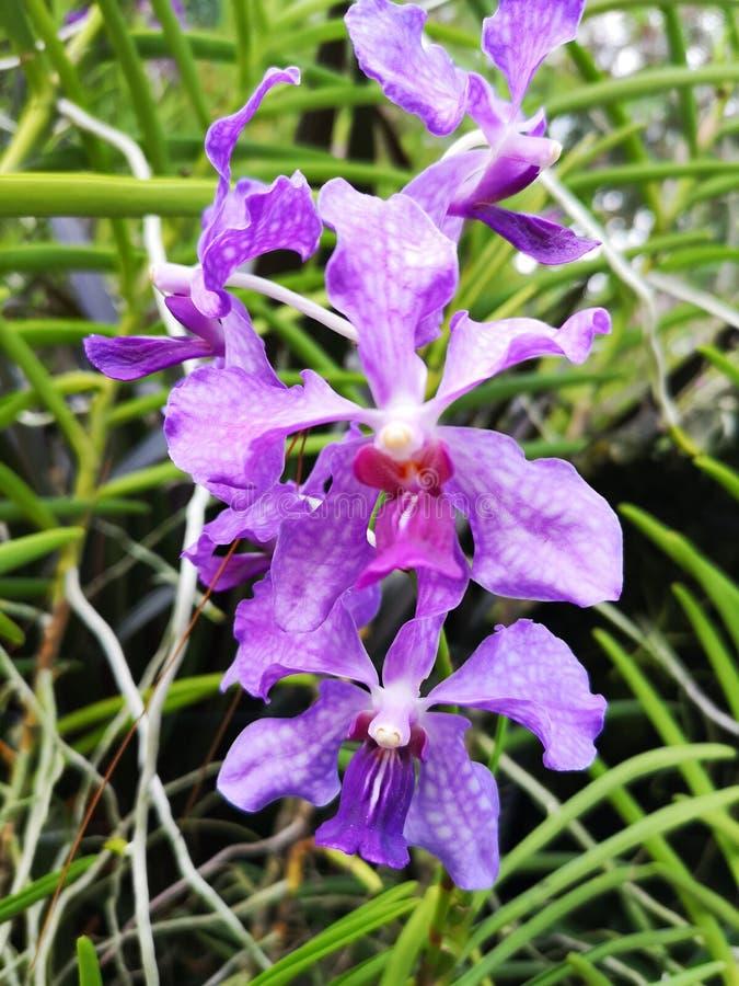 Flores violetas de la orquídea de Papilionanda Ernest Chew en el jardín de Singapur imagen de archivo libre de regalías