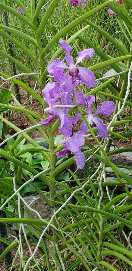 Flores violetas de la orqu?dea de Papilionanda Ernest Chew en el jard?n de Singapur foto de archivo