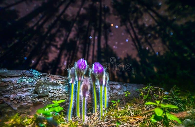 Flores violetas de mayores de pasque de las flores grandis del Pulsatilla cerrarse para arriba en el cielo nocturno foto de archivo