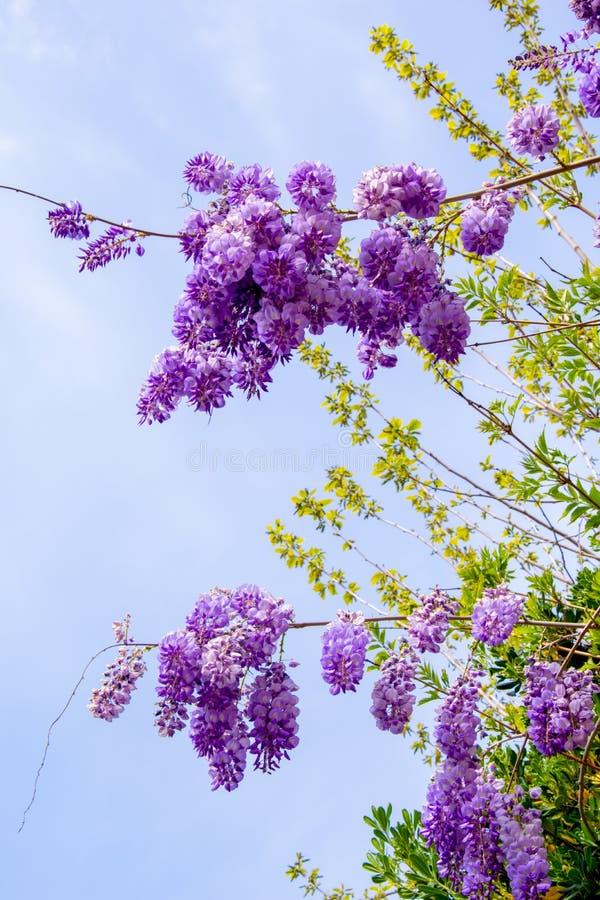 Flores violetas de suspensão fotografia de stock