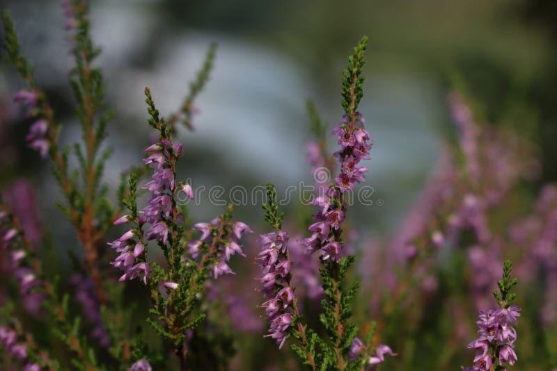 Flores violetas de un brezo de la hierba del campo imagen de archivo