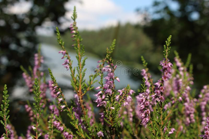 Flores violetas de un brezo de la hierba del campo fotografía de archivo libre de regalías