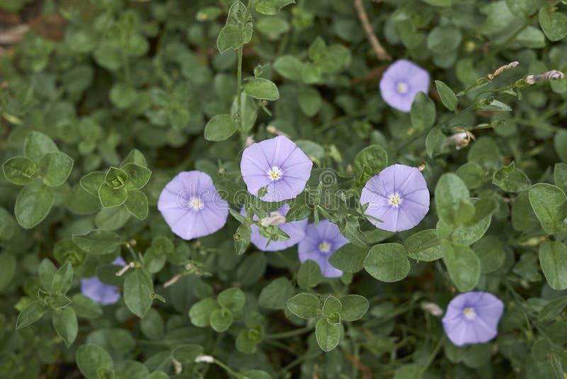 Flores violetas del sabatius de la enredadera foto de archivo libre de regalías