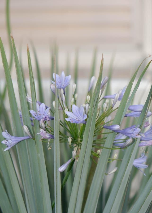 Flores violetas delicadas com folhas verdes imagens de stock