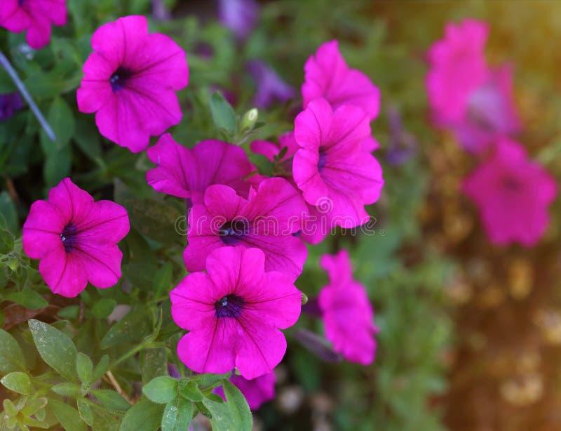 Flores violetas do petúnia no potenciômetro de flor foto de stock