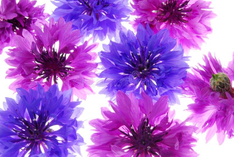 Flores violetas e roxas foto de stock royalty free