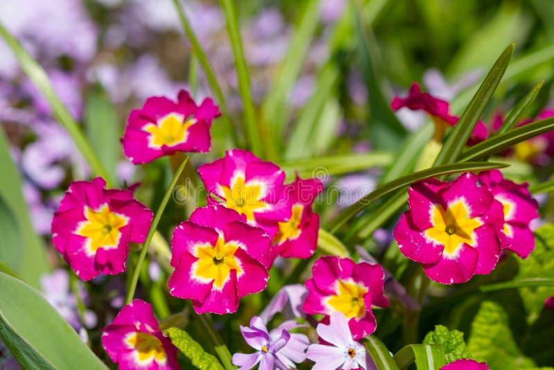 Flores violetas florecientes fotos de archivo
