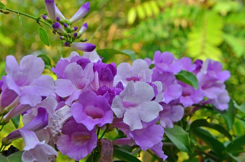 Flores violetas hermosas de la vid del ajo con las hojas imagenes de archivo