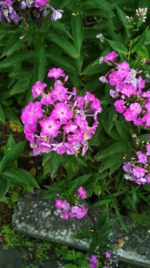Flores violetas hermosas fotos de archivo libres de regalías