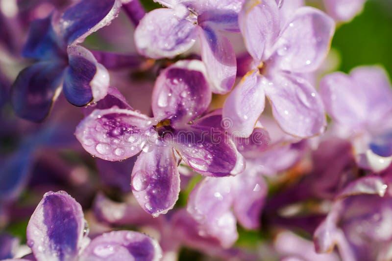 Flores violetas lilás da mola, fundo floral macio abstrato Macro imagem de stock