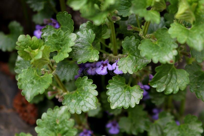 Flores violetas minúsculas de la hiedra de tierra Cierre para arriba fotografía de archivo