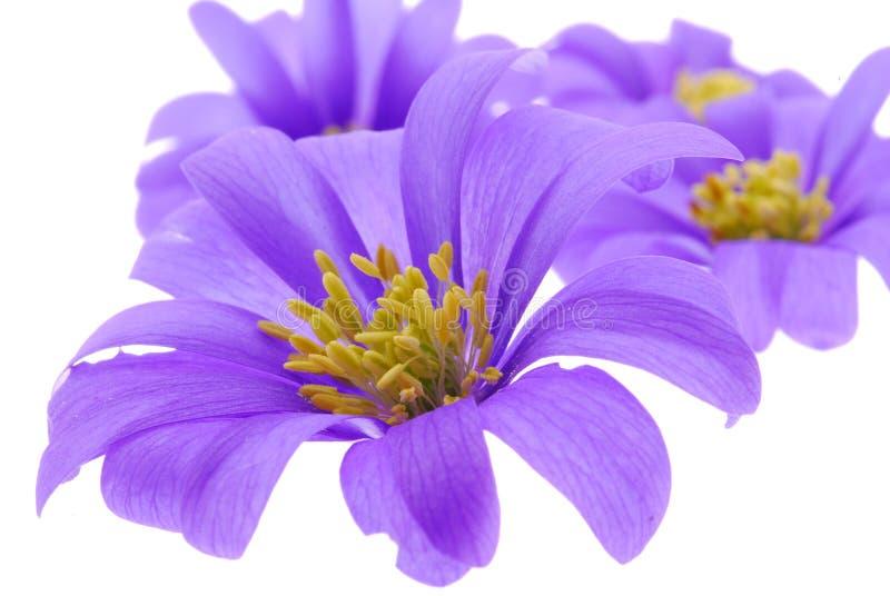 Flores violetas no branco imagem de stock