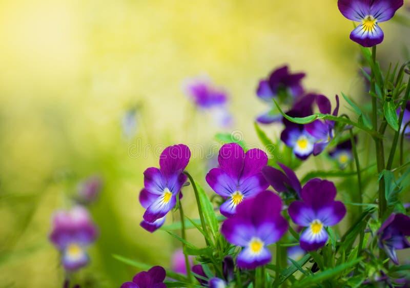 Flores violetas púrpuras imagen de archivo libre de regalías