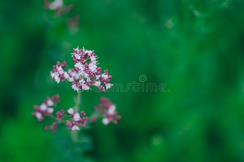 Flores violetas púrpuras del vulgare del Origanum del orégano en la naturaleza foto de archivo