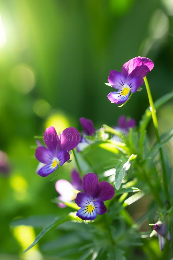 Flores violetas p?rpuras imagen de archivo libre de regalías