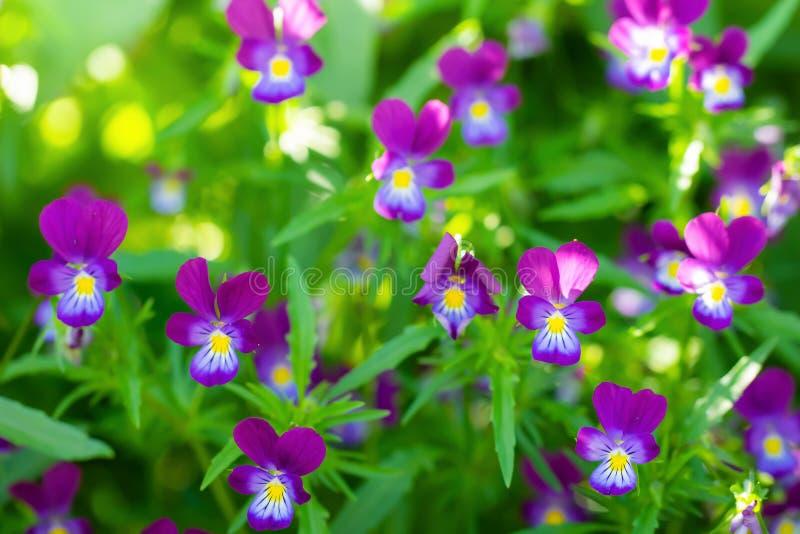 Flores violetas p?rpuras imagen de archivo