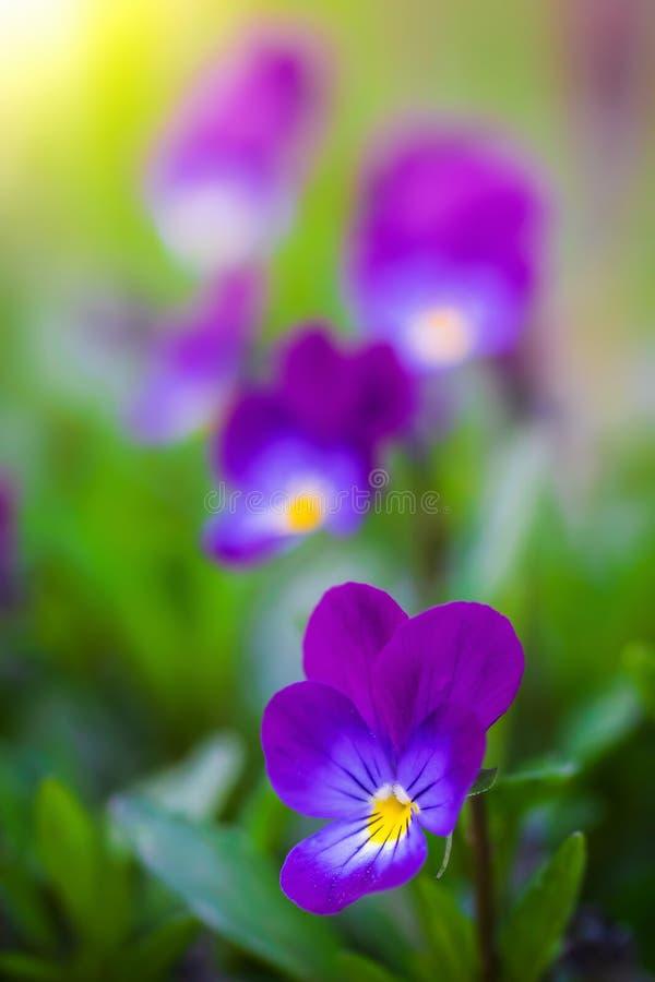 Flores violetas p?rpuras imágenes de archivo libres de regalías