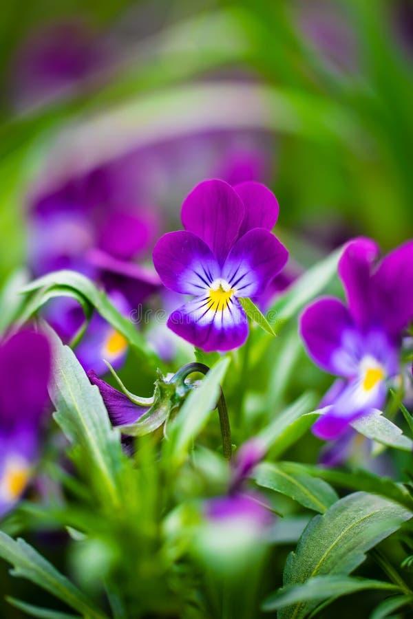 Flores violetas p?rpuras fotografía de archivo libre de regalías