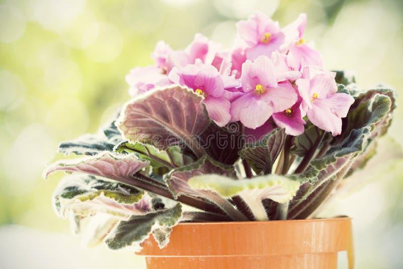 Flores violetas, saintpaulias no fundo natural imagens de stock