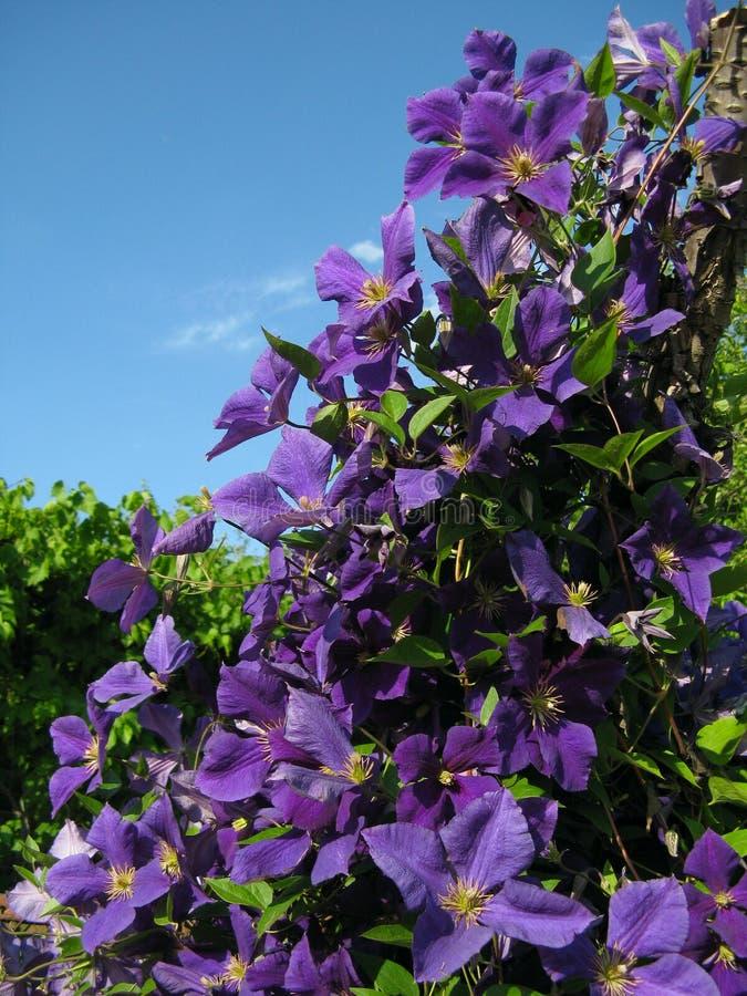 Flores violetas selvagens fotos de stock royalty free