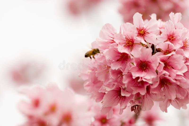Flores y abeja de cereza imagen de archivo libre de regalías