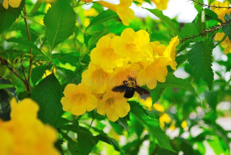 Flores y abejas de carpintero amarillas imagen de archivo libre de regalías