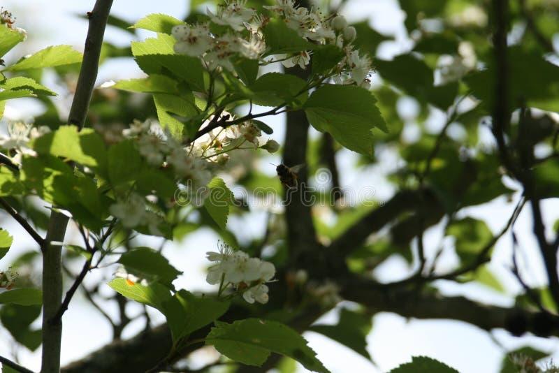 Flores y abejas 2019 II foto de archivo libre de regalías