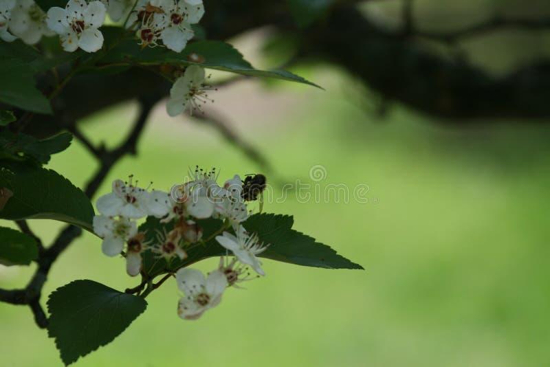 Flores y abejas 2019 III fotos de archivo libres de regalías