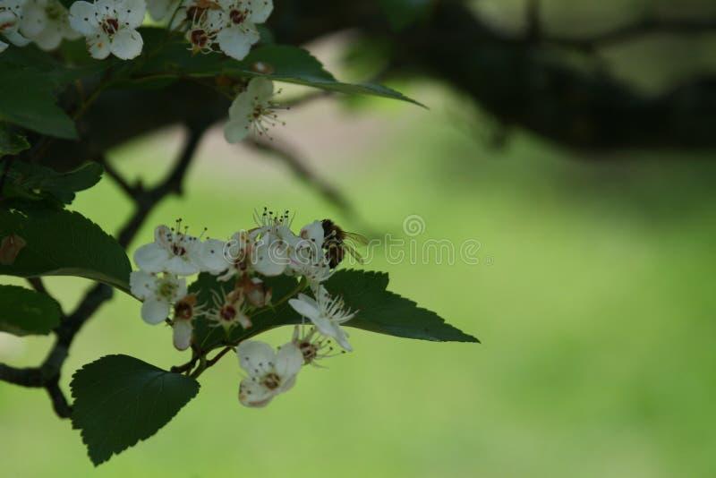 Flores y abejas 2019 IV imagen de archivo