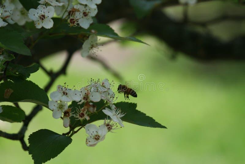 Flores y abejas 2019 VI imágenes de archivo libres de regalías