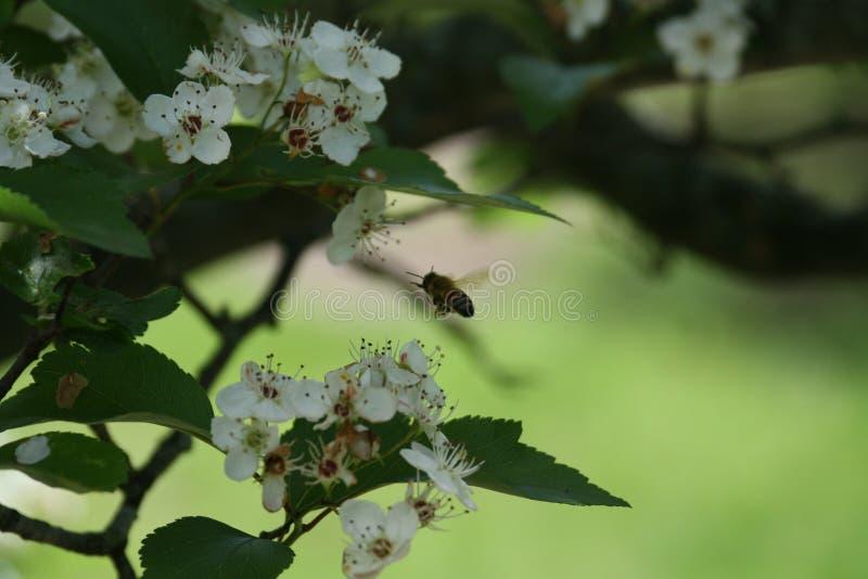 Flores y abejas 2019 VII imágenes de archivo libres de regalías