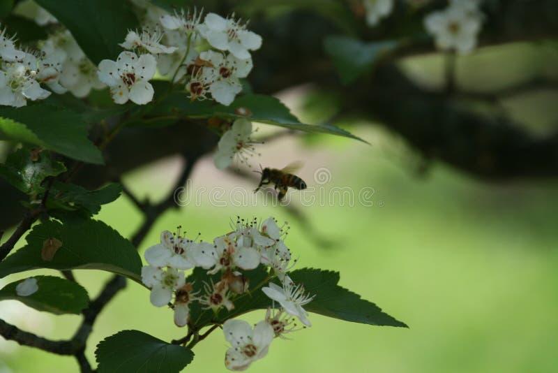 Flores y abejas 2019 VIII fotos de archivo