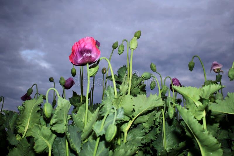 Flores y brotes de la amapola antes de la lluvia imagenes de archivo