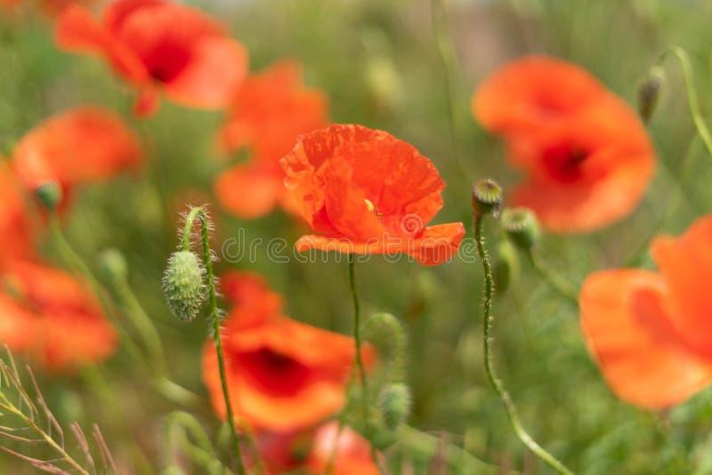 Flores y brotes de las amapolas que crecen salvajes en un campo contra un fondo de la hierba verde Foco selectivo foto de archivo libre de regalías